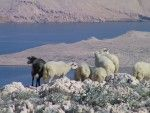 objects/1317/47983_Island Pag_sheep.JPG