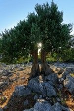 objects/1334/48402_Island Pag_olive tree.jpg